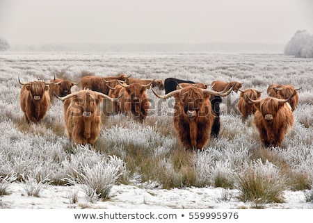 young brown highland cattle stock photo © gewoldi