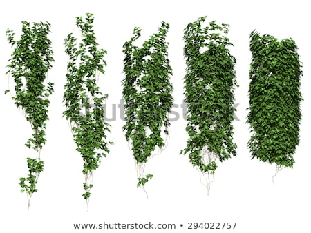 growing ivy stock photo © smithore