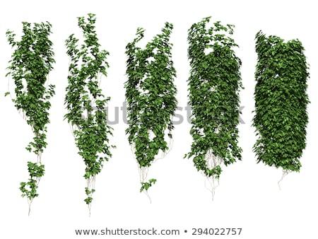 Groeiend klimop lang tak geïsoleerd witte Stockfoto © smithore