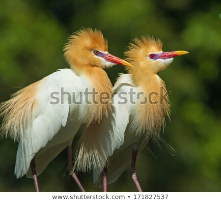 red ibis and cattle egret birds Stock photo © clearviewstock