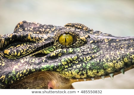 Close Up Eye of Saltwater Crocodile Stock photo © roboriginal