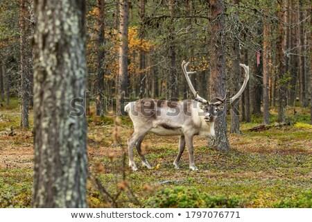 természetes · tájkép · kövek · erdő · Finnország · fenyőfa - stock fotó © tainasohlman