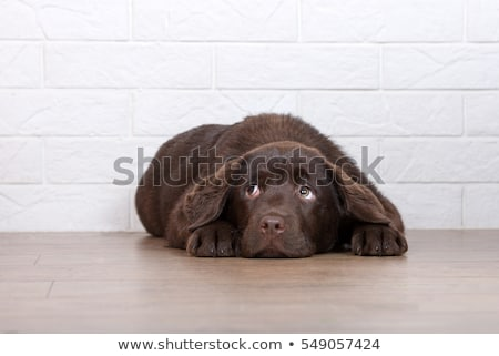 scared puppy Stock photo © willeecole