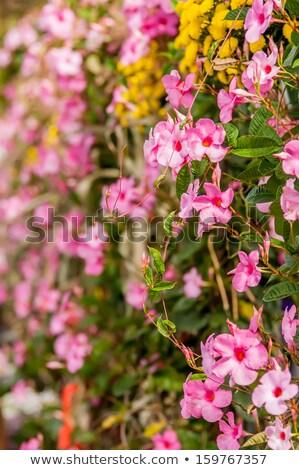 紫色 つる ローカル ファーム 春 庭園 ストックフォト © alex_grichenko