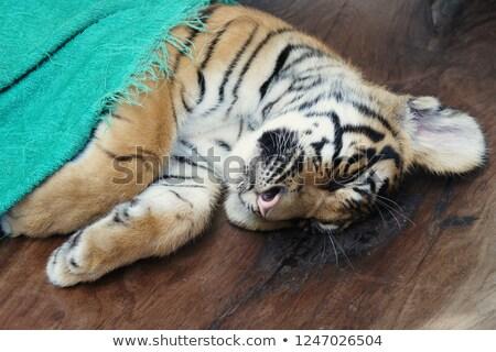 Jonge tijger dierentuin natuur Stockfoto © epstock
