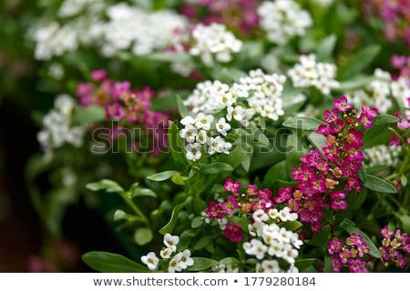 Zoete foto speciaal geurig bloemen textuur Stockfoto © Nneirda