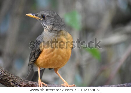 oliva · mughetto · seduta · albero · arancione · uccello - foto d'archivio © albertdw