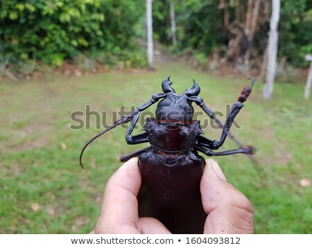 Titan beetle  - Titanus giganteus Stock photo © bluering
