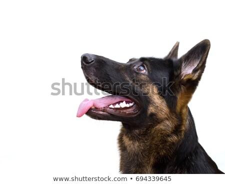 Zwarte herder studio portret grappig Stockfoto © vauvau