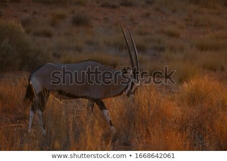 Gemsbok antelope grazing in the Kalahari Stock photo © avdveen