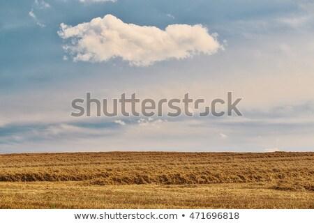 harvested field fith cloud on blue sky Stock photo © artush
