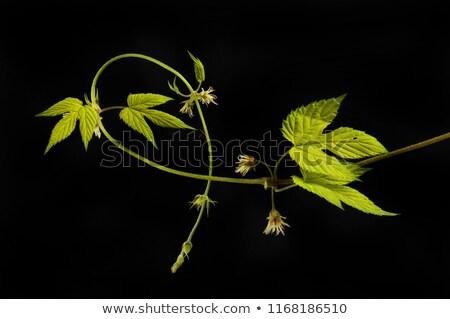 golden hops on a green background stock photo © blackmoon979