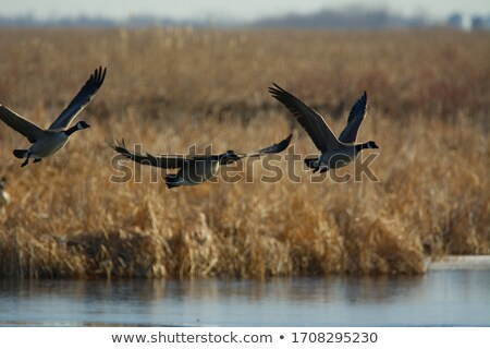 Канада гусей два Сток-фото © brianguest