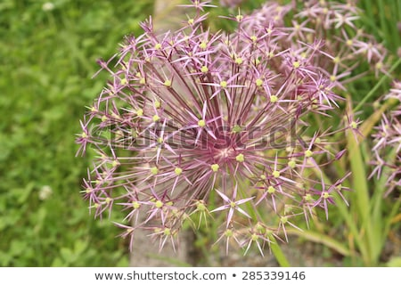 Stock photo: Allium Albopilosum Cristophii
