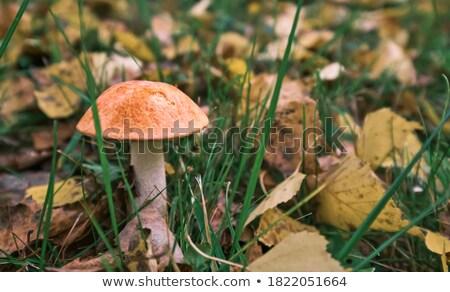 Boletus close-up growth in sunny wood Stock photo © romvo