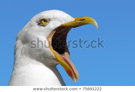 Stock photo: A seagull with its mouth wide open.