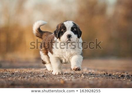 szent · kutyakölyök · portré · imádnivaló · boldog · fiatal - stock fotó © tobkatrina
