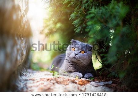 Brit rövidszőrű kiscica alszik kosár otthon Stock fotó © Illia