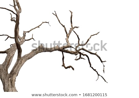 dry tree branch stock photo © simply