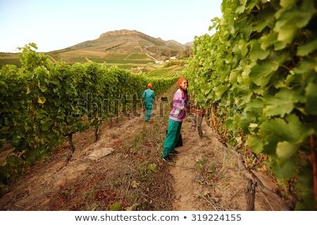 Grape picker in vine rows Stock photo © photography33