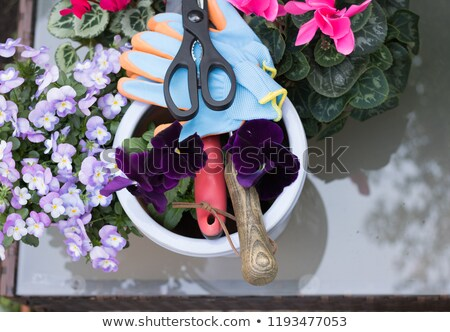 Colorful Pansy in flower pot on glass table  Stock photo © inxti