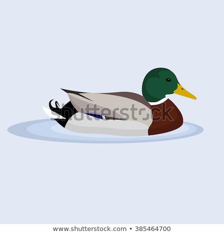 mallard duck swimming Stock photo © taviphoto