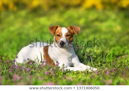 Jeunes blanche jack russell herbe parc chiot Photo stock © diego_cervo