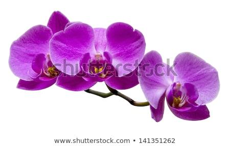 viola · orchidea · macro · isolato · nero · giardino - foto d'archivio © neirfy