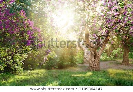 lilacs in the sun stock photo © kotenko