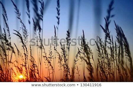 stems of grass and sunrise Stock photo © Mikko