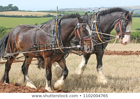 shire horse harness stock photo © jayfish