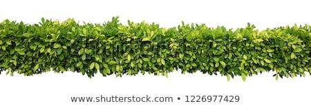 緑色の葉 春 壁 抽象的な 葉 背景 ストックフォト © antonihalim