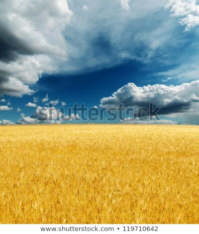 пшеницы · драматический · небе · дороги · области · золото - Сток-фото © mycola