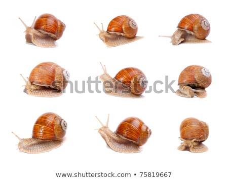 Set of garden snail (Helix aspersa) Stock photo © brulove