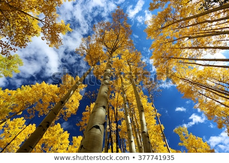 Autumn Canopy of Brilliant Yellow Aspen Tree Leafs in Fall in th Stock photo © cmcderm1