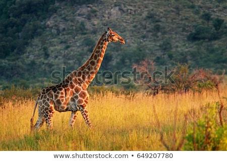 Oyun rezerv manzara termit tepe Güney Afrika Stok fotoğraf © prill