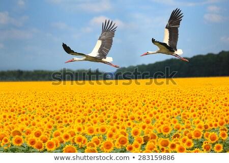 Ayçiçeği alan yaz kuş bitki leylek Stok fotoğraf © phbcz