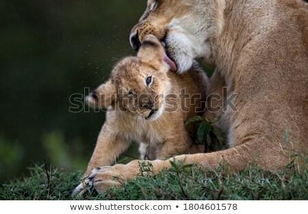 Jovem savana grama safári Quênia África Foto stock © master1305