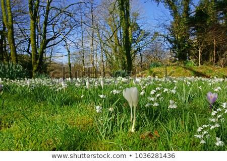 açafrão · flores · grama · paisagem · jardim - foto stock © manfredxy
