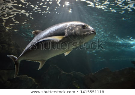 Atlantic bluefin tuna Stock photo © bluering