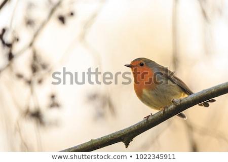 avrupa · oturma · ağaç · kuş · kırmızı · kahverengi - stok fotoğraf © latent