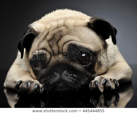 pug relaxing in a grey photo studio Stock photo © vauvau