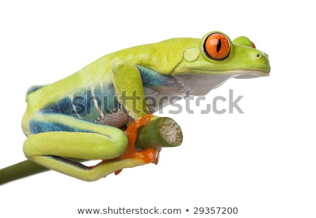 tree frog profile view stock photo © taviphoto