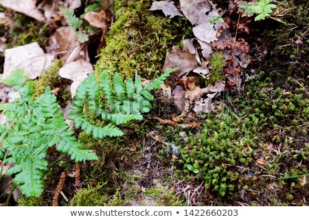 green bracken leaves among moss and dry leaves stock photo © sarahdoow