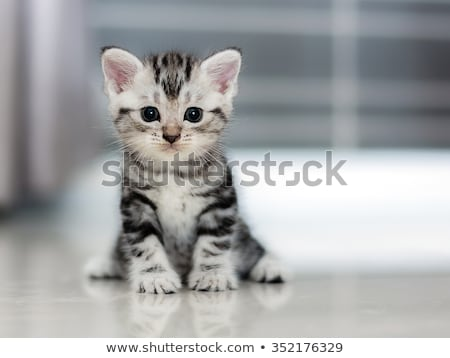 black tabby American Shorthair cat Stock photo © CatchyImages