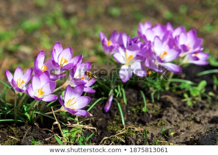 Flying bee at a purple crocus flower blossom Stock photo © manfredxy