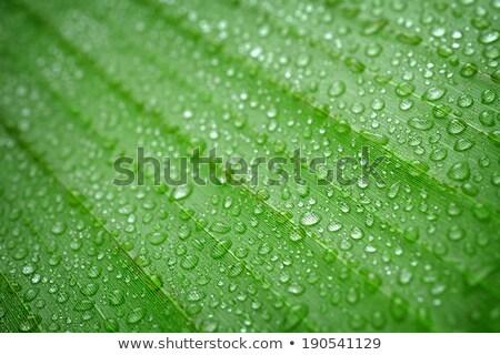 雨 値下がり バナナ 葉 緑 新鮮な ストックフォト © mroz