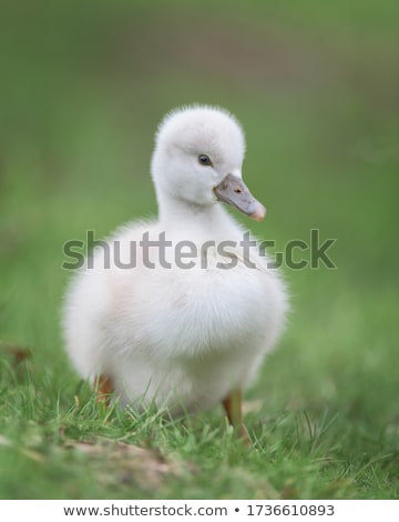young cygnets walking in green grass stock photo © prill