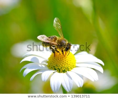 Darázs sárga virág társasági citromsárga édeskömény virág Stock fotó © suerob