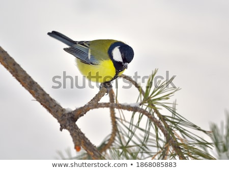 bird great tit on a branch looking down on white background stock photo © konstanttin